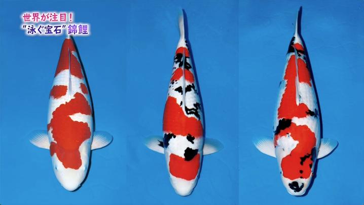 Image: 世界が注目! 「泳ぐ宝石」錦鯉